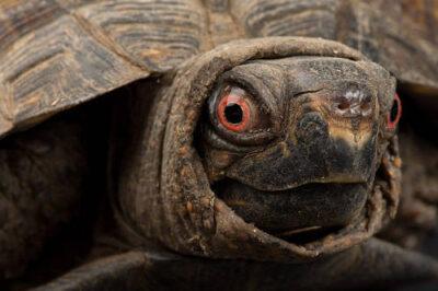 Gulf coast box turtle, Terrapene triunguis major, at the Sedgwick County Zoo.