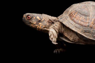 Gulf Coast Box Turtle, Terrapene carolina major, at the Sedgwick County Zoo.