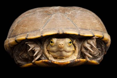 Photo: A yellow mud turtle, (Kinosternon flavescens) at the Sedgwick County Zoo.