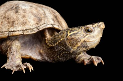 Photo: A musk turtle, (Sternotherus odoratus) at the Sedgwick County Zoo.