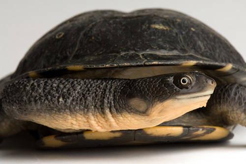 An eastern snake-necked turtle (Chelodina longicollis) at the Sedgwick County Zoo.