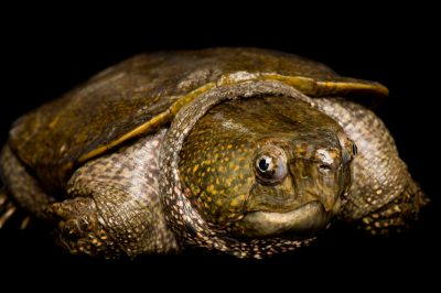 A Chinese big-headed turtle (Platystanon megacephalum shiui) at the Sedgwick County Zoo.
