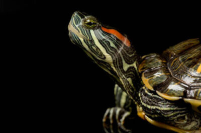 Photo: A red-eared slider (Chrysemys scripta) at the Kansas City Zoo.