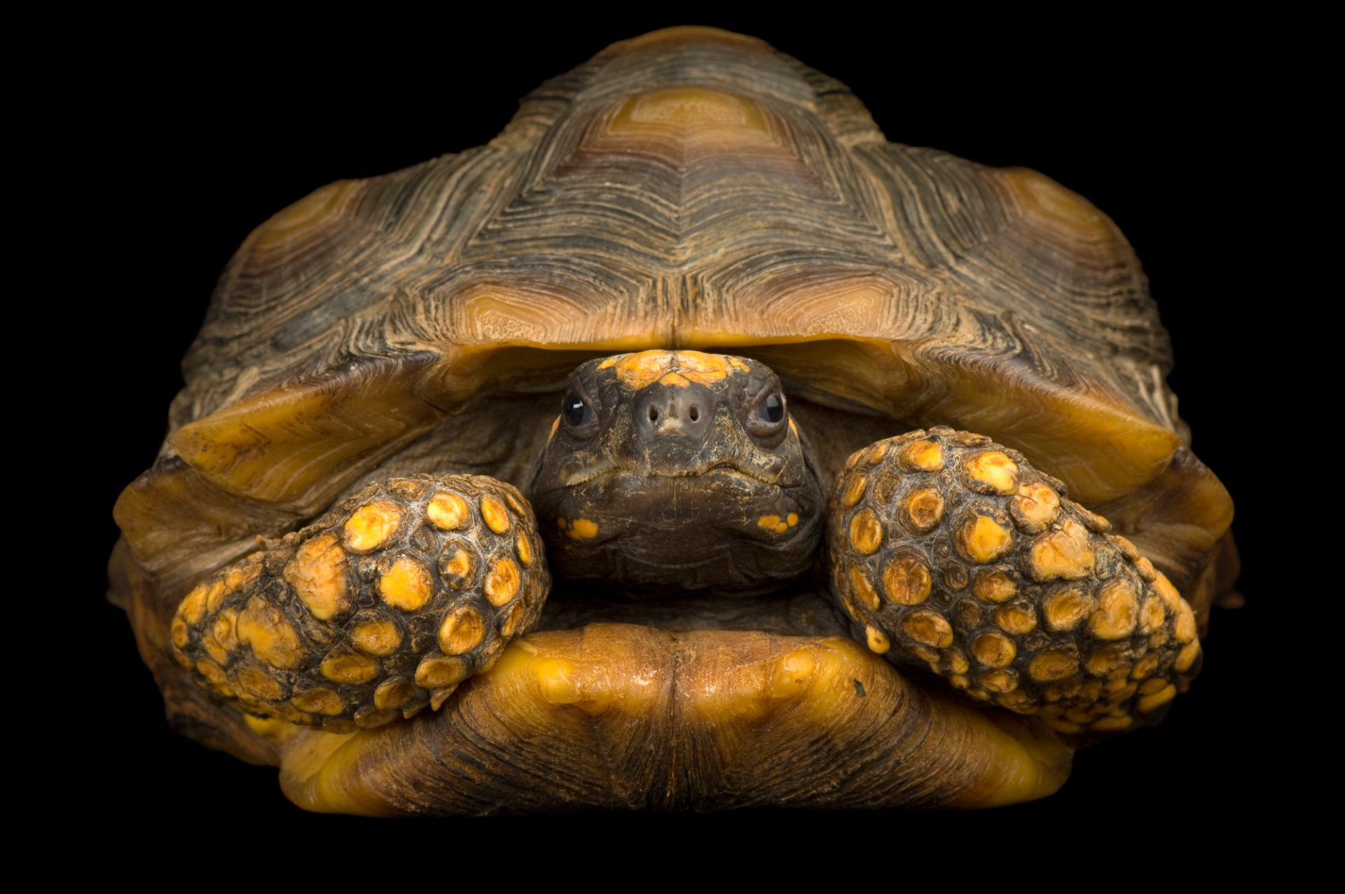 Photo: A South American yellow-footed tortoise (Geochelone denticulata) at the Kansas City Zoo.
