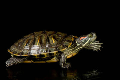 Photo: A red-eared slider at the Kansas City Zoo.