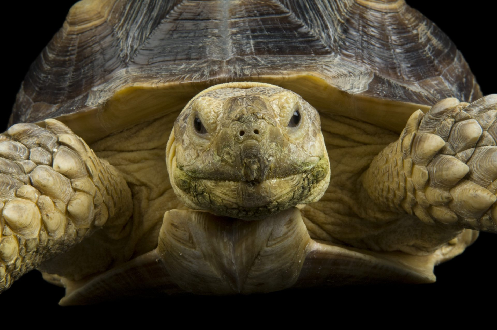 Photo: African spurred tortoise (Geochelone sulcata) at the Denver Zoo.