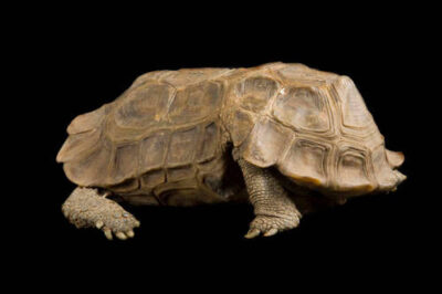 Photo: A hingeback tortoise (Kinixys homeana) from the Rolling Hills Wildlife Adventure.