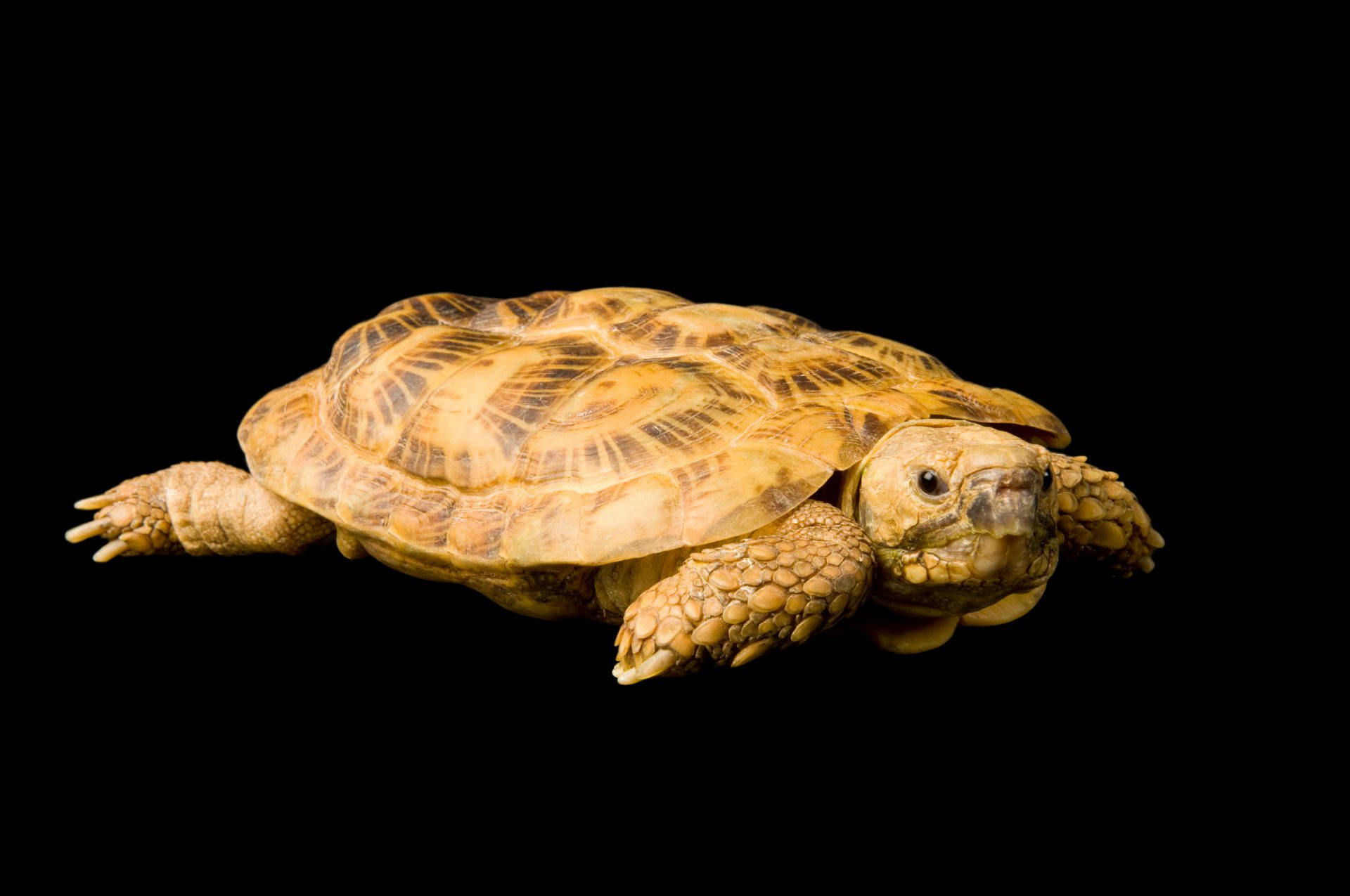 Photo: A pancake tortoise (Malacochersus tornieri) at the Cheyenne Mountain Zoo.