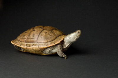 Photo: An Alabama map turtle (Graptemys pulchra) at the Cheyenne Mountain Zoo.