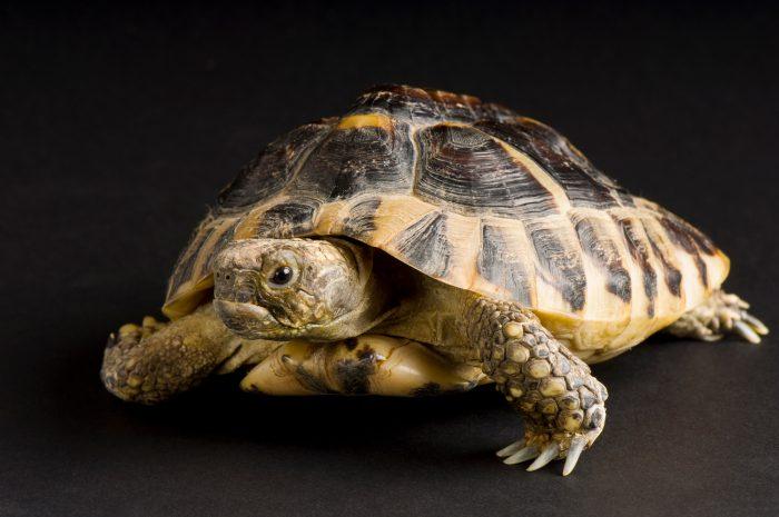Photo: Herman's tortoise (Testudo hermanni) at Safari Land Pet Center.