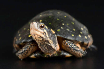 A spotted turtle (Clemmys guttata) at Omaha's Henry Doorly Zoo. (IUCN: Vulnerable)