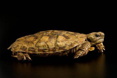 Photo: An African pancake tortoise (Malacochersus tornieri) at Omaha's Henry Doorly Zoo.