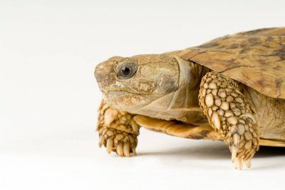 Photo: An African pancake tortoise (Malacochersus tornieri) at Omaha's Henry Doorly Zoo.