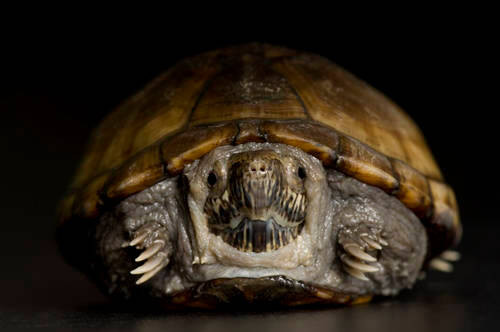 Photo: A Florida mud turtle at Reptile Gardens.