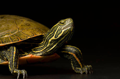 A painted turtle (Chrysemys picta belli) at Reptile Gardens.