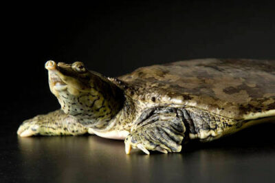 Photo: A spiny softshell turtle (Trionyx spiniferus) at Reptile Gardens.