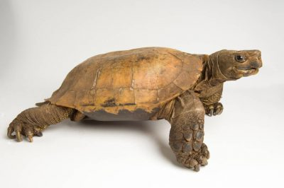 Critically endangered (IUCN) Arakan forest turtle (Heosemys depressa) at the St. Louis Zoo.