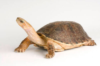 Critically endangered (IUCN) McCord's box turtle (Cuora mccordi) at the St. Louis Zoo.