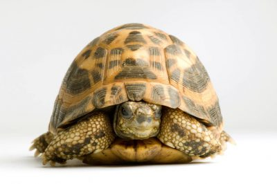 Picture of a spider tortoise (Pyxis arachnoides brygooi) at the St. Louis Zoo.