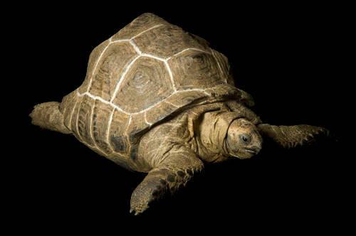 A vulnerable (IUCN) Aldabra tortoise (Geochelone gigantea) in Pawhuska, Oklahoma.