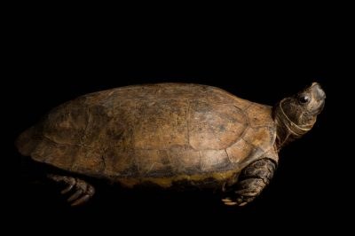 A critically endangered (IUCN) Arakan forest turtle (Heosemys depressa), one of the rarest tortoises on earth, at Zoo Atlanta. This species is from Myanamar, and there are thought to be fewer than 200 left in the world. This species may be extinct in the wild.