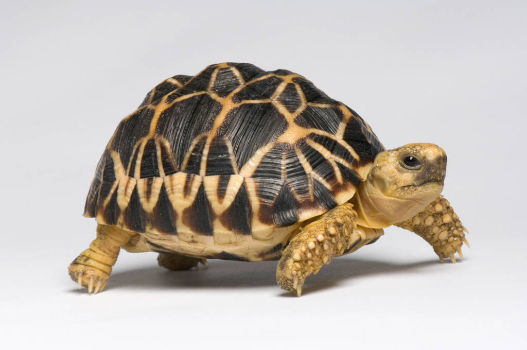 Photo: A Burmese star tortoise (Geochelone platynoa), at Zoo Atlanta.