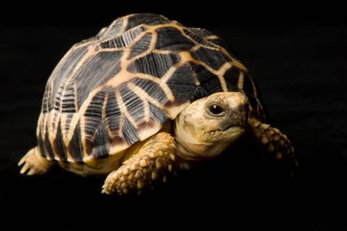 Photo: A Burmese star tortoise (Geochelone platynoa), at Zoo Atlanta.