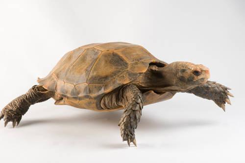 A impressed tortoise (Manouria impressa), at Zoo Atlanta. This animal is under IUCN vulnerable status.