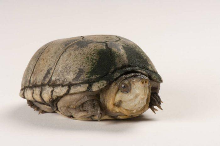 Photo: Eastern mud turtle (Kinosternum subrubrum subrubrum) at Riverbanks Zoo.