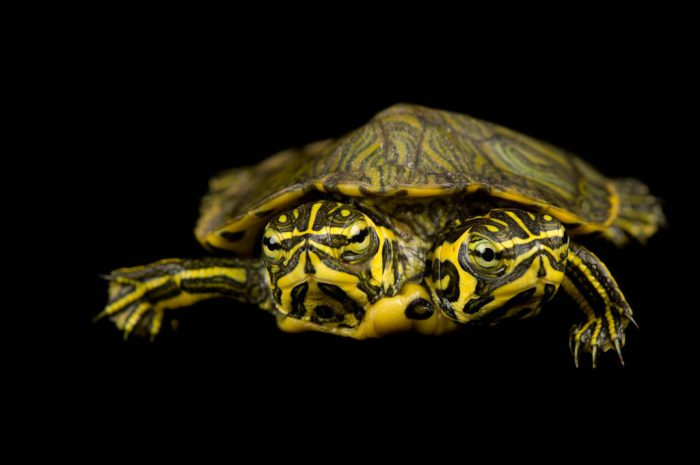 A two-headed yellow-belied slider (Trachemys scripta scripta) at Riverbanks Zoo.