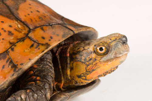 A critically endangered (IUCN) Indochinese box turtle (Cuora galbinifrons) at the Riverbanks Zoo.