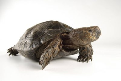 Picture of an endangered Burmese black tortoise (Manouria emys phayrei) at the Riverbanks Zoo.
