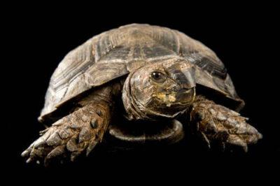 Picture of an endangered Burmese black tortoise (Manouria emys phayrei) at the Riverbanks Zoo.