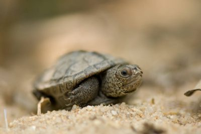 Picture of a baby diamondback terrapin (Malaclemys terrapin) from New Jersey shore's Delaware Bay.