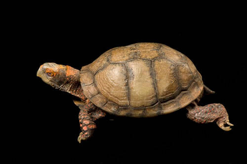 Mexican box turtle (Terrapene carolina mexicana) at Zoo Atlanta.