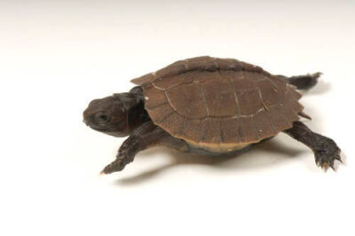 A two-week-old, critically endangered (IUCN) Arakan forest turtle (Heosemys depressa) at Zoo Atlanta.