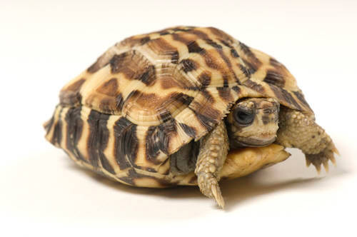 An endangered (IUCN) flat-tailed tortoise (Pyxis planicauda) at Zoo Atlanta.