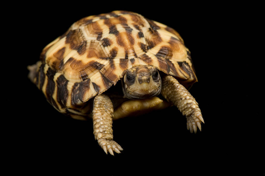 An endangered (IUCN) flat-tailed tortoise (Pyxis planicauda) at Zoo Atlanta.