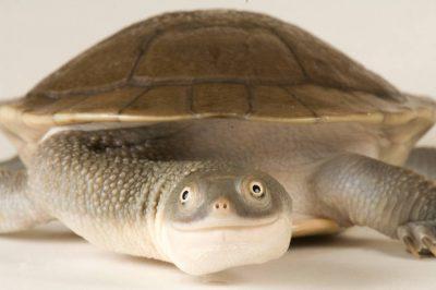 Critically endangered Roti Island snake-necked turtle (Chelodina mccordi) at the Toledo Zoo.