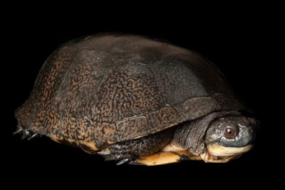 Blanding's turtle (Emydoidea blandingii) at the Toledo Zoo.