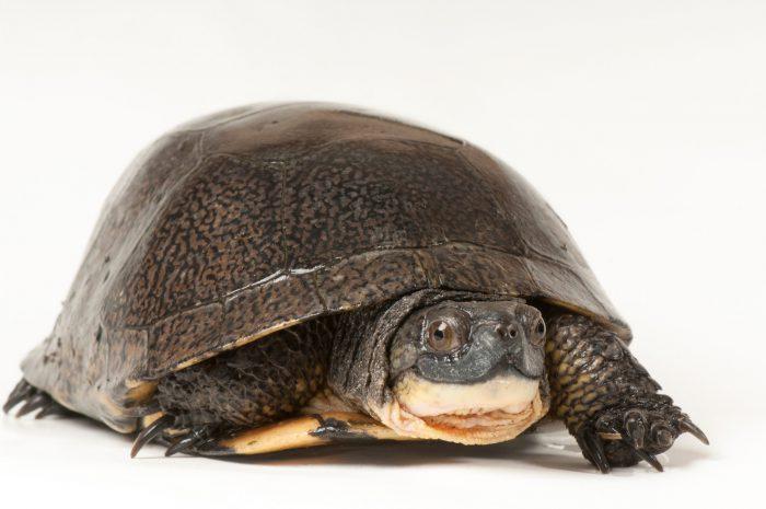 Blanding's turtle (Emydoidea blandingii) at the Toledo Zoo.