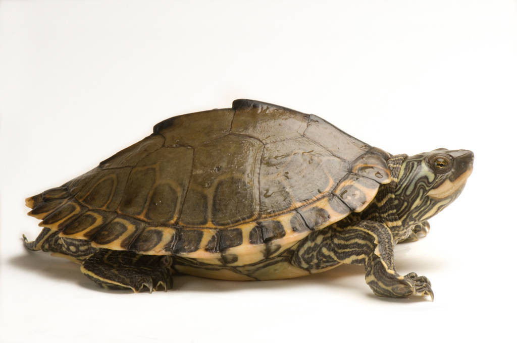 Pearl River map turtle (Graptemys gibbonsi) at the National Mississippi River Museum and Aquarium in Dubuque, IA.
