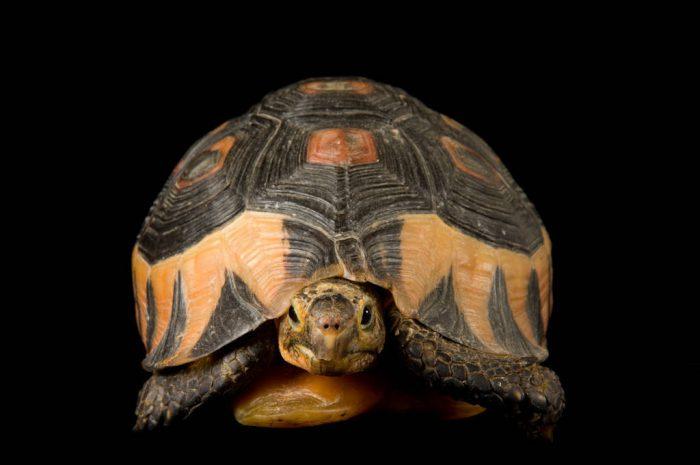 South African bowsprit tortoise (Chersina angulata) at the Detroit Zoo.