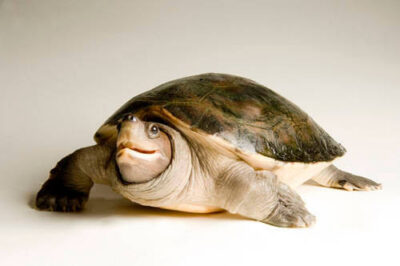 Picture of a critically endangered painted terrapin (Batagur borneoensis) at the Detroit Zoo.