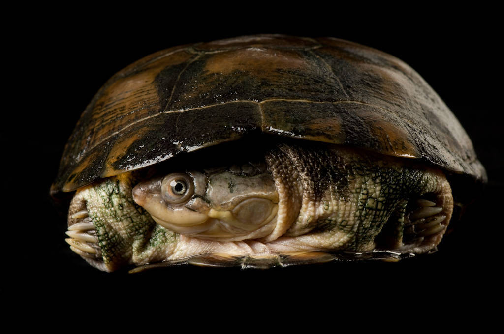 A helmeted turtle (Pelomedusa subrufa) at the Detroit Zoo.