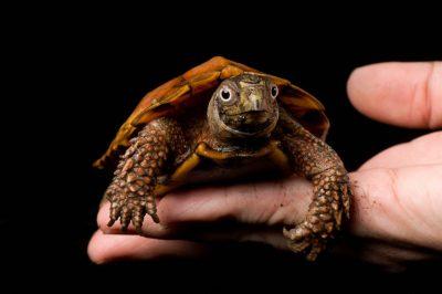 Picture of an endangered Black-breasted leaf turtle (Geoemyda spengleri spengleri) at the detroit zoo.