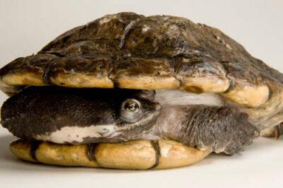 South American snake-necked turtle (Hydromedusa tectifera) at the Detroit Zoo.