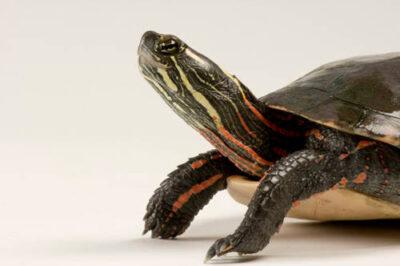 Midland painted turtle (Chrysemys picta marginata) at the Detroit Zoo.