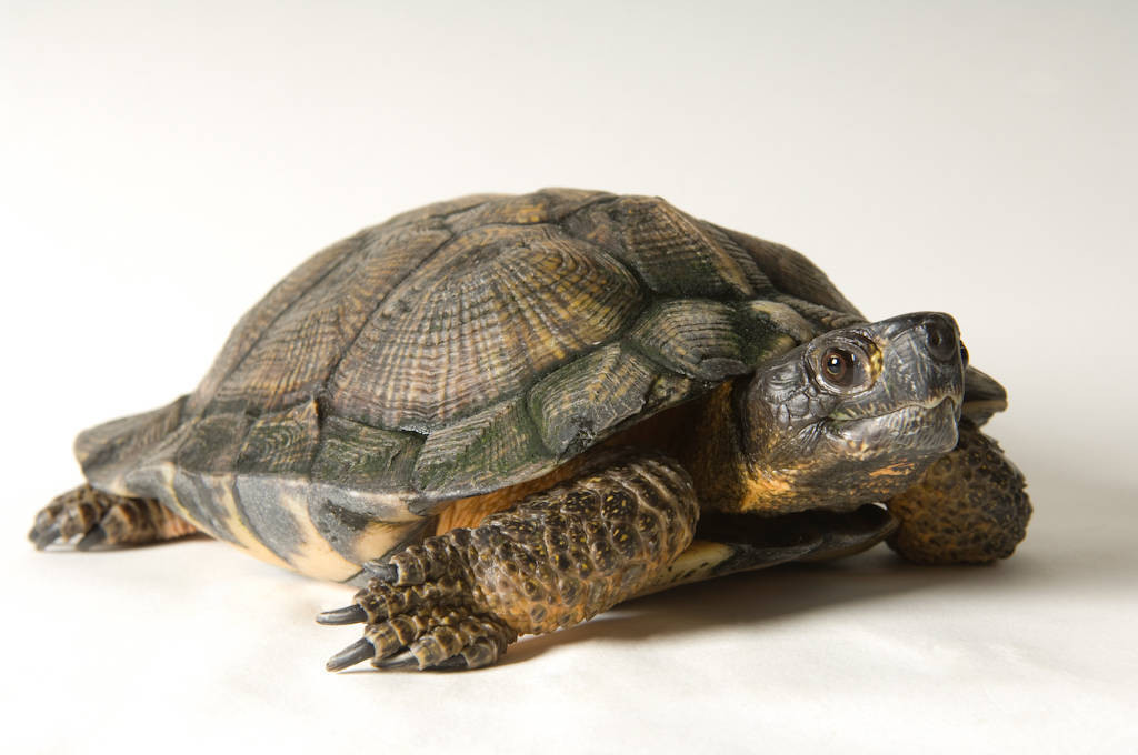 Photo: Wood turtle (Clemys insculpta) at the Detroit Zoo.