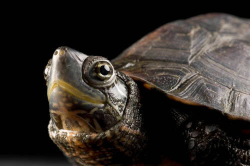 A Chinese black coin turtle (Mauremys nigricans) at Missouri State University. (IUCN: Endangered)